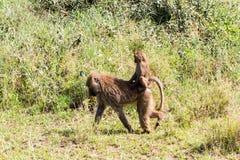 Vervet-Affe Chlorocebus-pygerythrus in Serengeti, Tansanier Stockfoto