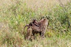 Vervet-Affe Chlorocebus-pygerythrus in Serengeti, Tansanier Stockfotos