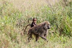 Vervet-Affe Chlorocebus-pygerythrus in Serengeti, Tansanier Stockfotografie