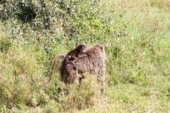 Vervet-Affe Chlorocebus-pygerythrus in Serengeti, Tansanier Stockbilder