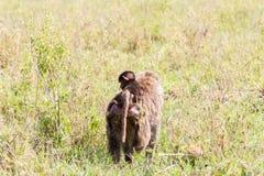 Vervet-Affe Chlorocebus-pygerythrus in Serengeti, Tansanier Lizenzfreie Stockfotografie