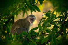 Vervet-Affe, Chlorocebus-sabaeus, Affe im grünen Baumnaturlebensraum, Nationalpark Chobe, Botswana, Afrika Lizenzfreie Stockfotos