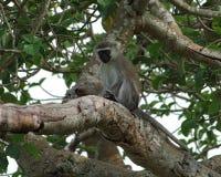 Vervet-Affe, der auf einem Ast sitzt Lizenzfreies Stockbild
