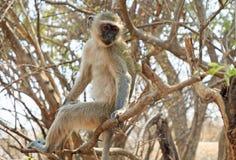 Vervet-Affe, der auf einem Baum mit Victoria Falls im Hintergrund aufwirft Lizenzfreie Stockbilder