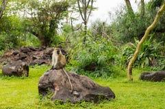 Vervet-Affe, der auf einem Felsen in der Savanne von Amboseli-Park sitzt Stockbilder