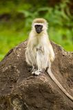 Vervet-Affe, der auf einem Felsen in der Savanne von Amboseli-Park sitzt Stockfotos