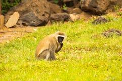 Vervet-Affe, der auf einem Felsen in der Savanne von Amboseli-Park sitzt Lizenzfreie Stockfotos