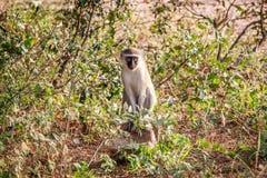 Vervet-Affe, der auf einem Felsen sitzt Lizenzfreie Stockfotos