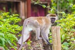 Vervet-Affe, der auf einem hölzernen Beitrag in der Savanne sitzt Lizenzfreie Stockfotos