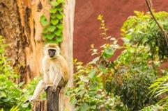 Vervet-Affe, der auf einem hölzernen Beitrag in der Savanne von Ambose sitzt Lizenzfreie Stockfotos
