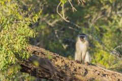 Vervet-Affe, der auf einem toten Baumstumpf sitzt Stockfoto