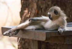 Vervet-Affe, der auf einer Tabelle liegt stockfoto