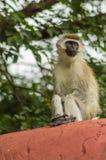 Vervet-Affe, der auf einer Wand in der Savanne sitzt Lizenzfreie Stockfotos