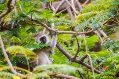 Vervet-Affe, der auf einer Wand in der Savanne sitzt Stockbilder