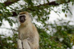 Vervet-Affe, der auf einer Wand in der Savanne von Amboseli-Park sitzt Stockfotos