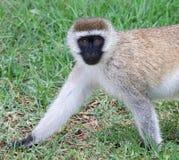 Vervet-Affe, der auf Gras geht Stockbilder