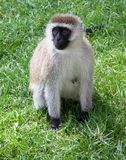 Vervet-Affe, der auf Gras sitzt Lizenzfreie Stockbilder