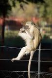 Vervet-Affe, der auf Zaun spielt Lizenzfreie Stockfotos