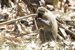 Vervet-Affe, der aus den Grund sitzt und isst Lizenzfreie Stockfotografie