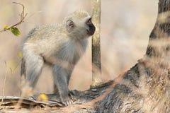Vervet-Affe, der Baum betrachtet Lizenzfreie Stockbilder