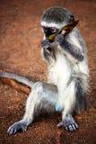 Vervet-Affe, der das Baumblatt isst Kruger-Park Berühmter Kanonkop Weinberg nahe malerischen Bergen am Frühling Lizenzfreies Stockfoto