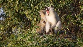 Vervet-Affe, der in einem Baum gähnt Stockfotografie