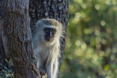 Vervet-Affe, der in einem Baum sitzt Stockbild