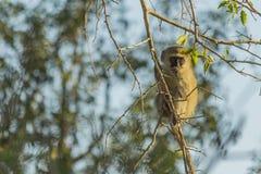 Vervet-Affe, der in einem Baum sitzt Lizenzfreies Stockfoto
