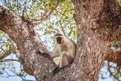 Vervet-Affe, der in einem Baum sitzt Stockfoto