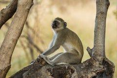 Vervet-Affe, der in einem Baum sitzt Stockfotos