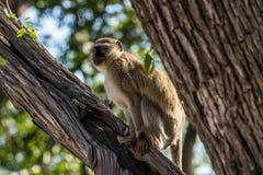 Vervet-Affe, der in einem Baum sitzt Lizenzfreie Stockfotos