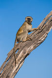 Vervet-Affe, der in einem Baum sitzt Stockbilder