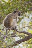 Vervet-Affe, der in einem Baum sitzt Lizenzfreie Stockbilder