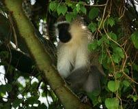 Vervet-Affe, der in einem Treetop sitzt Stockbilder