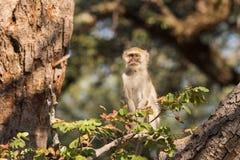 Vervet-Affe, der hoch oben im BaumBlickkontakt sitzt Lizenzfreies Stockbild