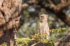 Vervet-Affe, der hoch oben im Baumprofil sitzt Stockbilder