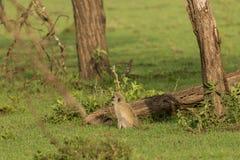 Vervet-Affe, der im Wald sitzt Lizenzfreies Stockbild