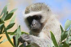 Vervet-Affe, der nach Lebensmittel sucht Lizenzfreie Stockbilder