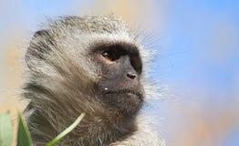 Vervet-Affe, der nach Lebensmittel sucht Lizenzfreies Stockfoto