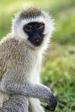 Vervet-Affe in der Savanne Lizenzfreie Stockfotografie