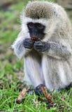 Vervet-Affe in der Savanne Stockbilder