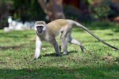 Vervet-Affe in der Savanne Stockfotos