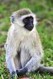 Vervet-Affe in der Savanne Stockfoto