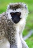 Vervet-Affe in der Savanne Lizenzfreie Stockbilder