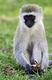 Vervet-Affe in der Savanne Lizenzfreie Stockfotos