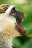 Vervet-Affe, der seine Reißzähne im afrikanischen Dschungel zeigt Stockbilder