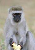 Vervet-Affe essen Apfel Stockfotos