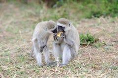 Vervet-Affe essen Apfel Stockfotografie