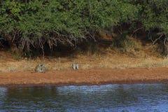 Vervet Affe-Familie Stockbilder