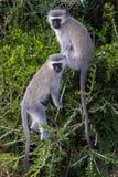 Vervet-Affe-Freunde Lizenzfreie Stockfotos